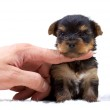 Puppy yorkshire terrier on the white background — Stock Photo