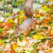 Brown squirrel — Foto Stock