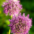 Close up of the flowers of some Chives — Stock Photo #6343256