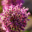Stock Photo: Close up of the flowers of some Chives
