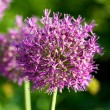 Close up of the flowers of some Chives — Stock Photo #6344001