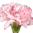 Beautiful pink carnation — Stock Photo