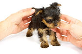 Cute pretty Yorkshire terrier puppy dog sitting. isolated — Stock Photo