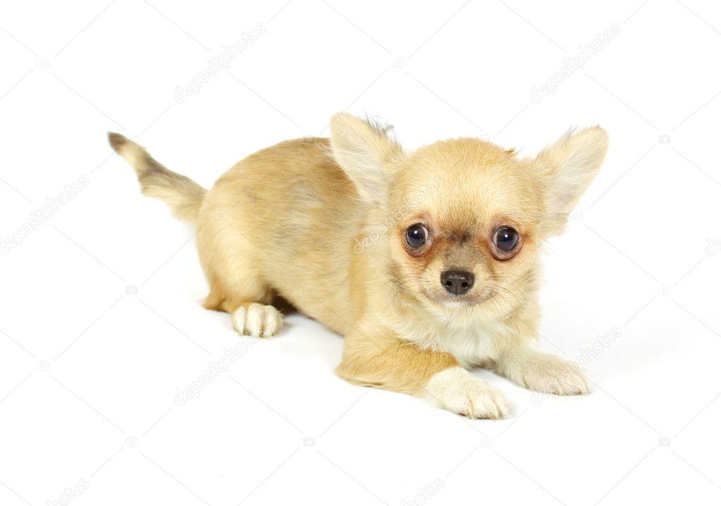 Small chihuahua puppy on the white background — Stock Photo #6341627