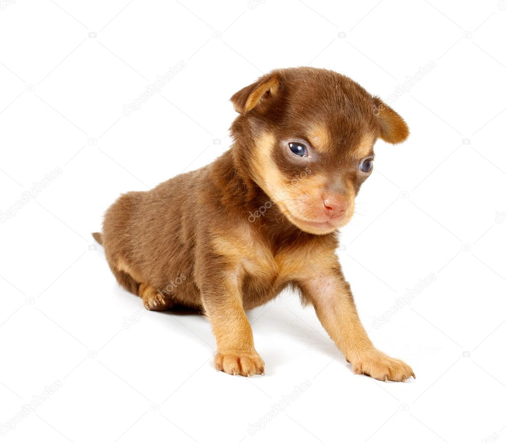 Funny puppy Chihuahua poses on a white background — Stock Photo #6343819