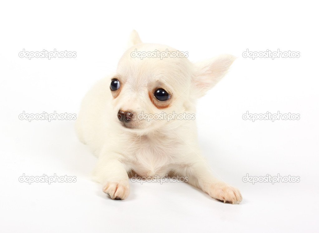 Small chihuahua puppy on the white background — Stock Photo #6343830
