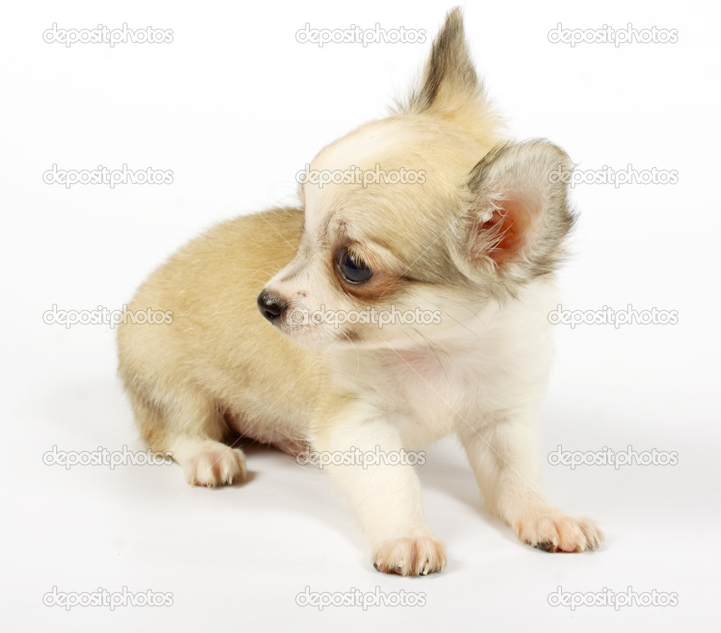 Small chihuahua puppy on the white background — Stock Photo #6343834