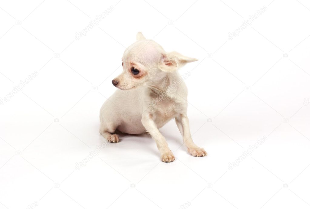 Chihuahua small puppy on the white  Stock Photo #6343845
