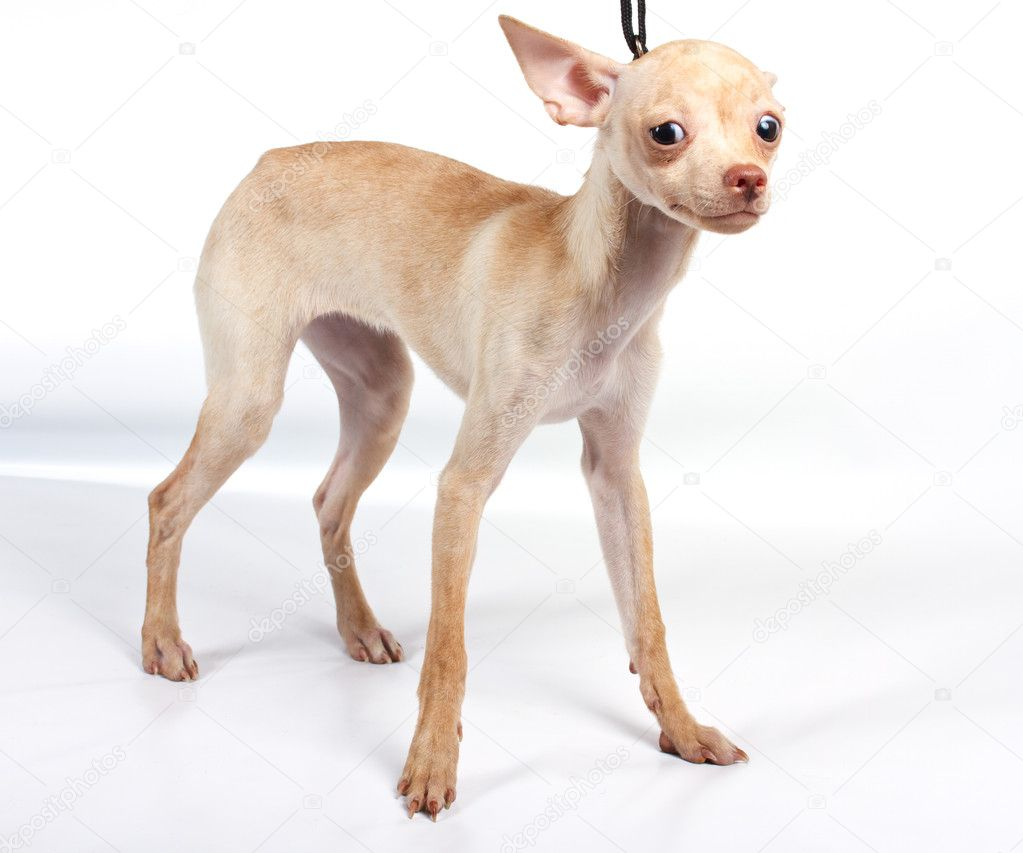 Chihuahua puppy in studio on the white  Stock Photo #6343849