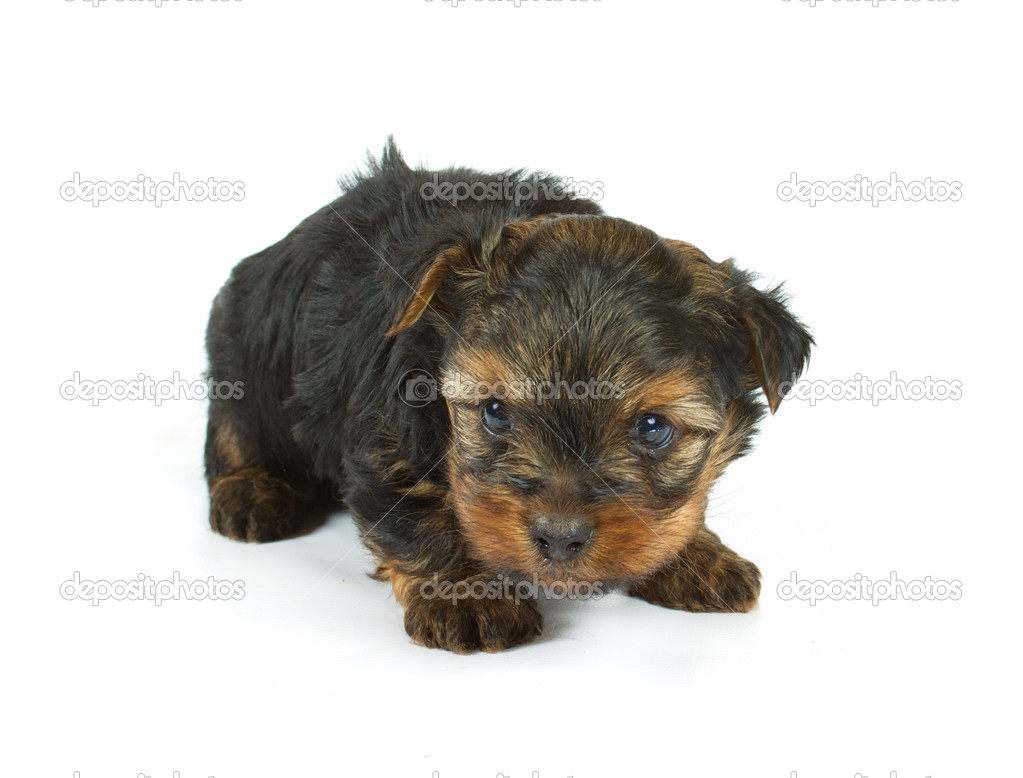 Cute pretty Yorkshire terrier puppy dog sitting. isolated on white background — Stock Photo #6343851