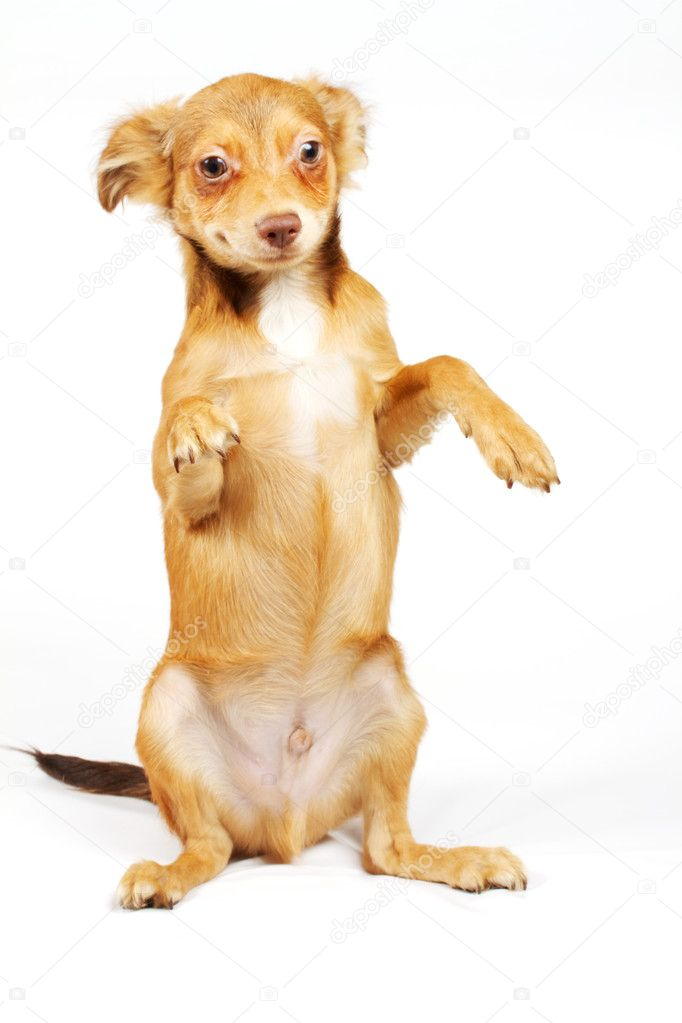 Funny puppy Chihuahua poses on a white background — Stok fotoğraf #6343857