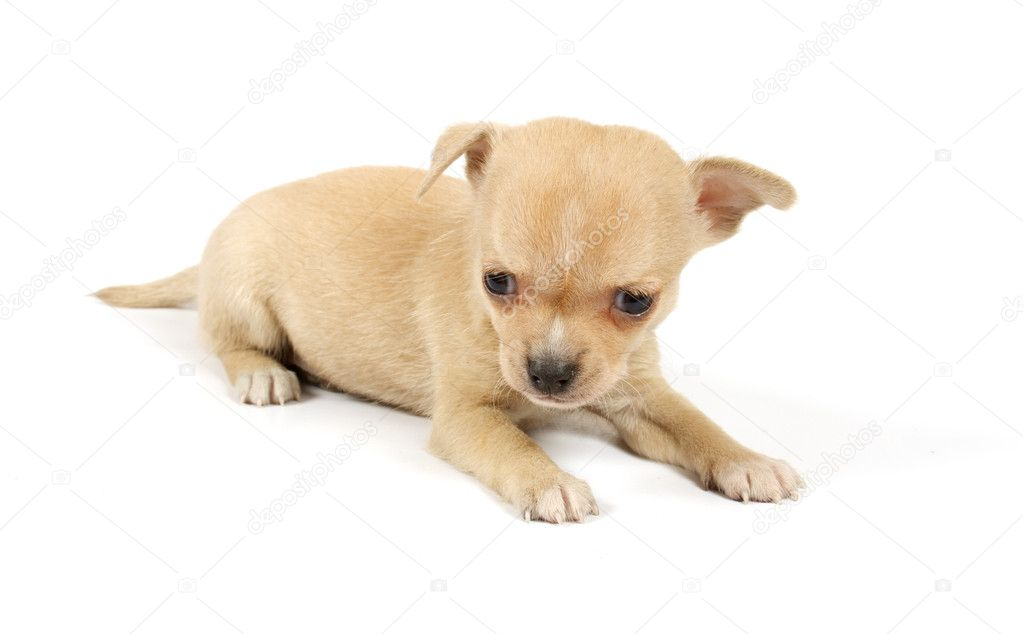 Funny puppy Chihuahua poses on a white background — Stock Photo #6343858