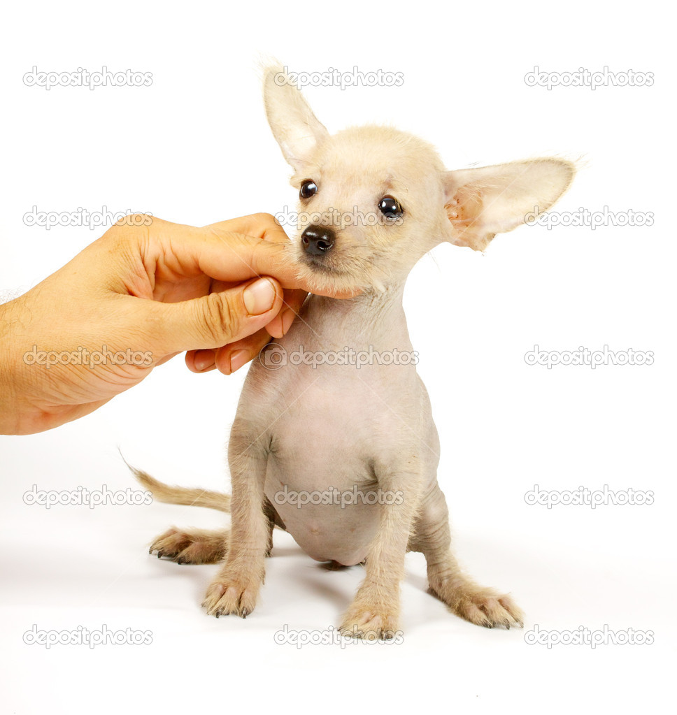 Chinese crested dog isolated against white background — Stock Photo #6343867