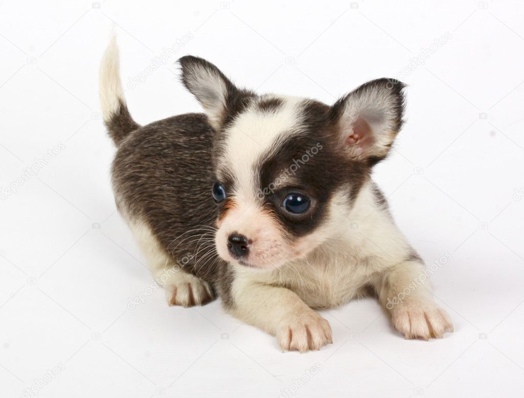 Small chihuahua puppy on the white background  Stock Photo #6343868