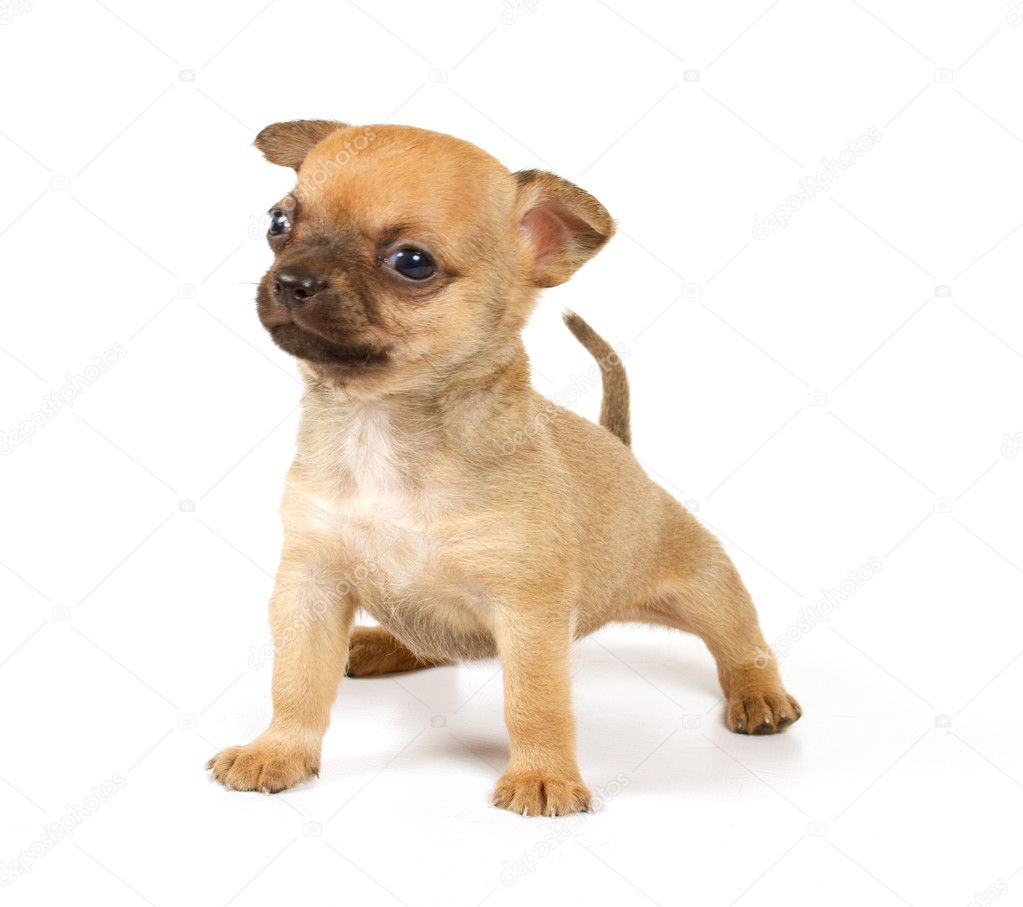 Funny puppy Chihuahua poses on a white background — Stock Photo #6343876