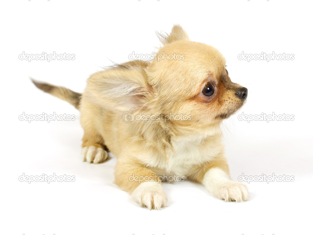 Small chihuahua puppy on the white background  Stock Photo #6343877