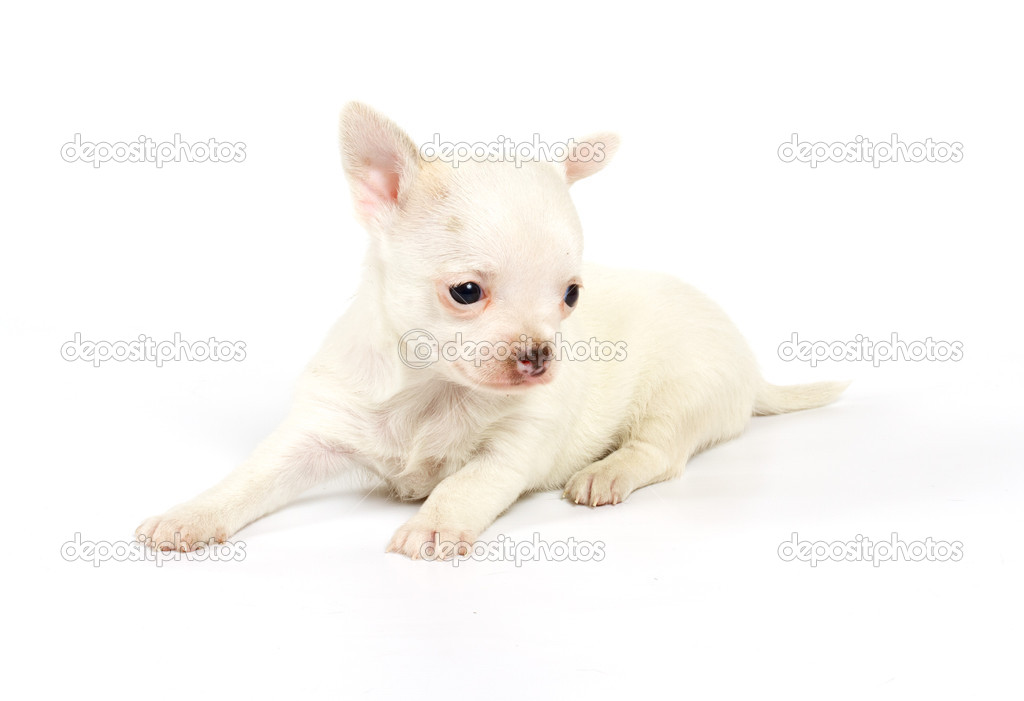 Funny puppy Chihuahua poses on a white background — Stock Photo #6343895