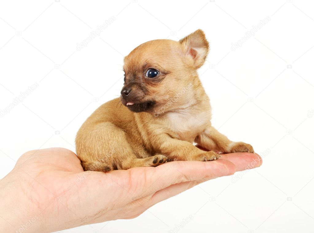 Funny puppy Chihuahua poses on a white background  Stock Photo #6343903