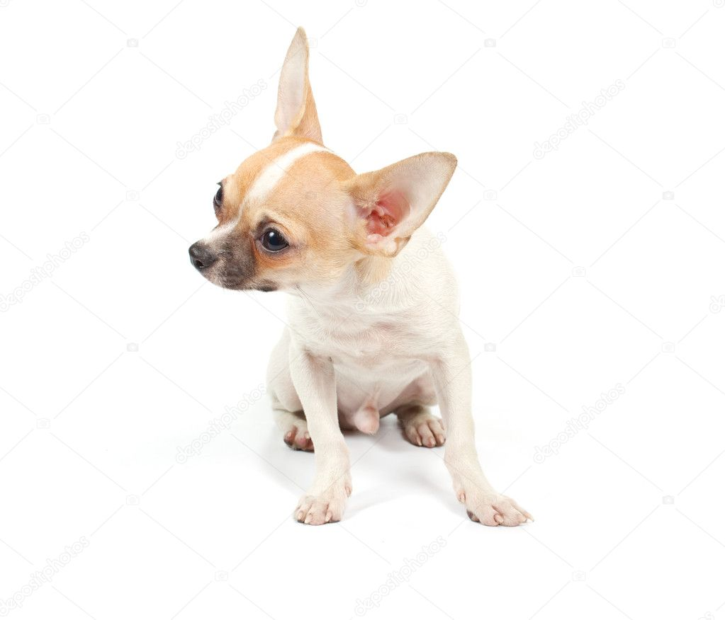 Funny puppy Chihuahua poses on a white background — Stok fotoğraf #6343931