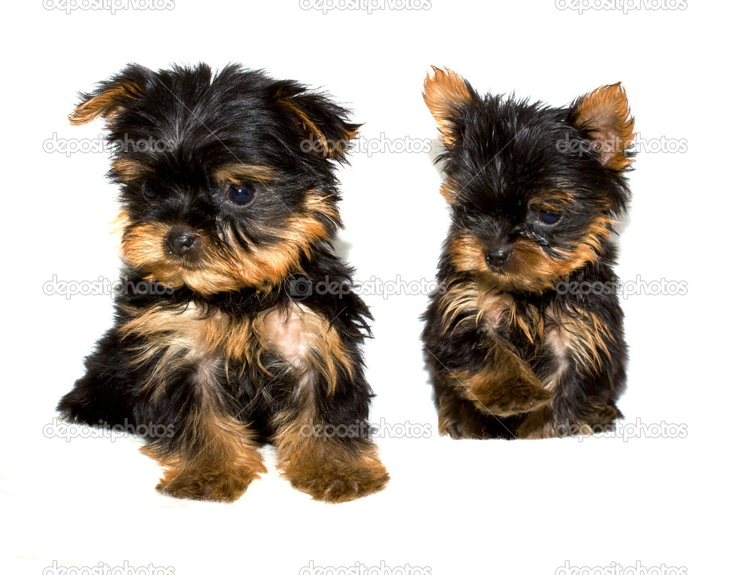 Yorkshire Terrier puppy on the white background  Stock Photo #6343942