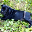 Cane corso puppy — Stock Photo #6386509