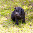 Cane corso puppy — Stock Photo #6418524