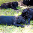 Cane corso puppy — Stock Photo