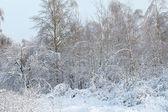 Beautiful winter forest — Stock Photo