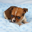 Portrait of a cute purebred puppy chihuahua in the puppy-home — Stock Photo