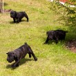Cane corso puppy — Stock Photo #6615867