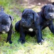 chiot de cane corso — Photo