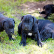 Cane corso puppy — Stock Photo
