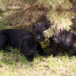 Cane corso puppy — Stock Photo #6615904