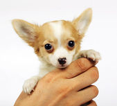 Small chihuahua puppy — Stock Photo