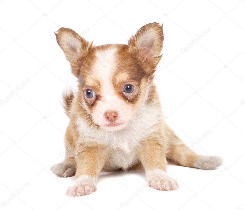Pin Chihuahua Puppies Purebred All Male For Sale In New Hampton Iowa ...