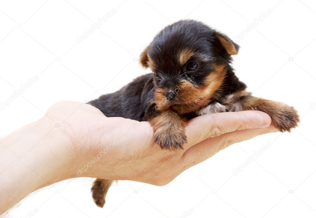 Puppy yorkshire terrier on the white background — Stock Photo #6616391