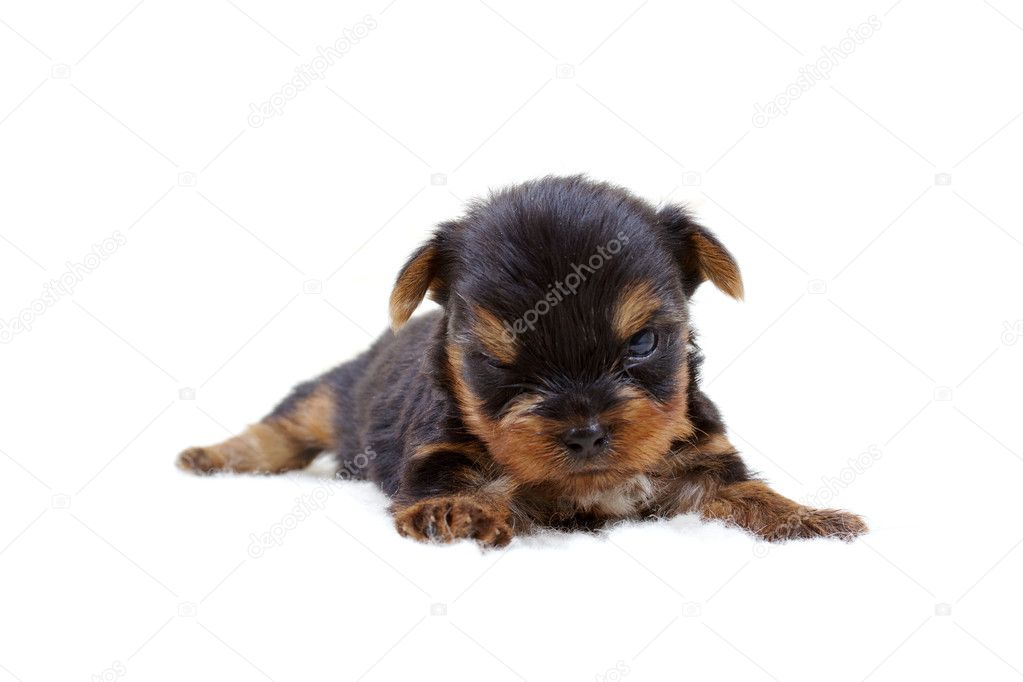 Puppy yorkshire terrier on the white background — Stock Photo #6616396