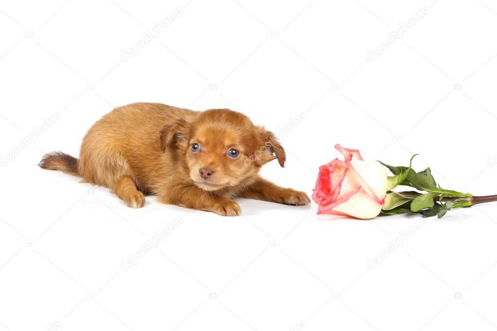 Chihuahua puppy in studio on the white — Stock Photo #6616780