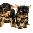 Stock Photo: Yorkshire Terrier puppy