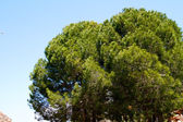 Pine growing on an eminence, Turkey — Stock Photo