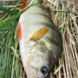 River perch — Stock Photo