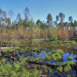 Royalty-Free Stock Photo: Impassable swamp in the Siberian taiga