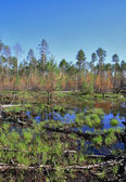 Impassable swamp in the Siberian taiga — Stock Photo
