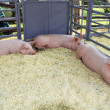 Three pigs in the pen - Stock Photo