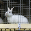 White rabbit in a cage — Stock Photo