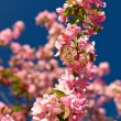 Royalty-Free Stock Photo: Apple blossoms against a blue sky
