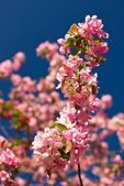 Apple blossoms against a blue sky — Stock Photo