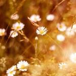 Ромашки луговой — Стоковое фото