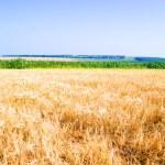 Yellow ripe rye — Stock Photo #6259375