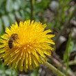 Bee collects nectar on a dandelion - Stock Photo